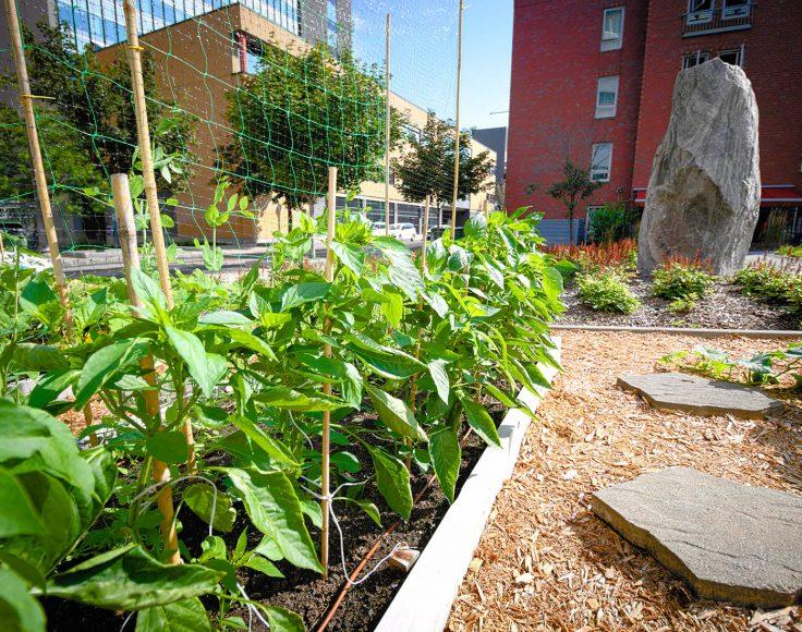 Plants de piments poussant dans une plate-bande. À l'arrière-plan, bâtiments urbains.