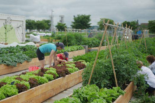 Quatre bénévoles s'affairent dans les jardins, qui regorgent de laitues colorées et de plants de tomates.