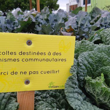 """Une petite pancarte, piquée à travers les choux, indique """"Récoltes destinées à des organismes communautaires. Merci de ne pas cueillir""""."""