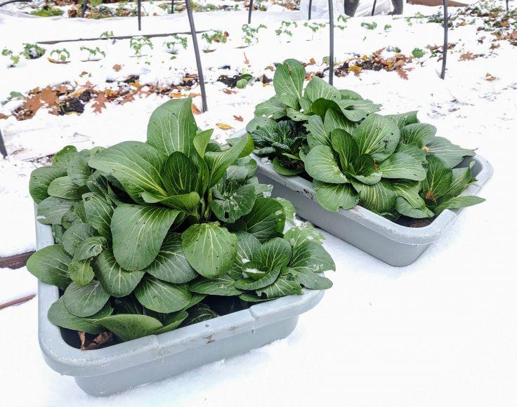 Des bacs de récolte remplis de bok choy, sont déposés sur la neige.