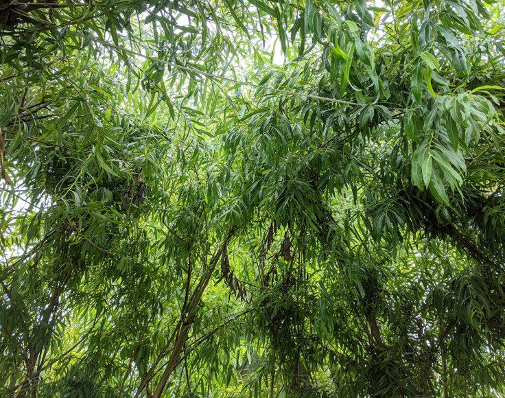 Branches de saule verdoyantes